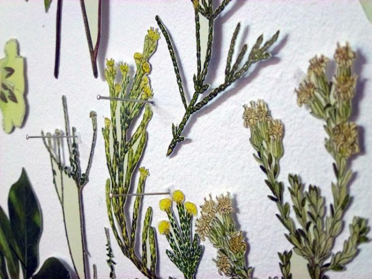 PODOCARPACEAE/Dacrycarpus – ASTERACEAE/Pachystegia, detail