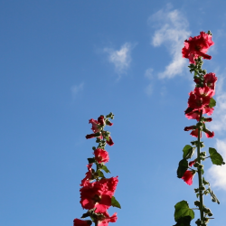 Video still Hollyhocks